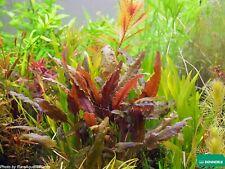 Cryptocoryne wendtii red brown pianta piante acquatiche per acquario tropicale