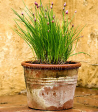 1500 SEEDS - CHIVES BOHEMIA - HERB SEEDS - HARDY PERENNIAL