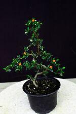 "Contoneaster horizontalis bonsai tree/ 6"" , long flowering and berrying season"