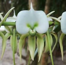 100 Christmas Orchid Flowers Seeds Angraecum Rare Bonsai Plants in Home Garden