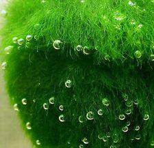 Marimo Moss Balls 2.3 inch (6cm) (Cladophora) Live Plant Aquarium Tank In USA