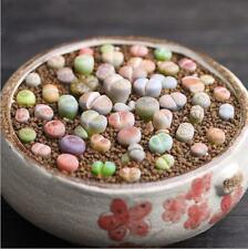 COLOR LITHOPS MIX succulent EXOTIC living stones desert rock seed plant 50 SEEDS