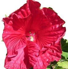 Hibiskus, Hibiscus moscheutos, RIESIG, WINTERHART, wächst u. blüht schnell, 10 S