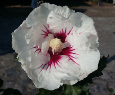Hardy Hibiscus, Rose of Sharon, HIBISCUS SYRIACUS flowering shrub, patio plant