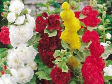 HOLLYHOCK SUMMER CARNIVAL MIXED 320 FLOWER SEEDS PERENNIAL FLOWER