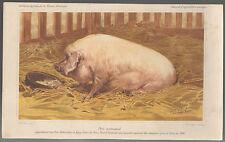 Chromolithogravure par Charles-Olivier de Penne. Porc Normand