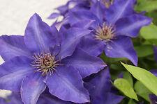 Clematis blaublühend 5 Samen