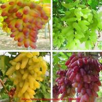Senior Courtyard Plants Fruit Gold Finger Grape Bonsais Mixed Colors 40 Pcs Bag