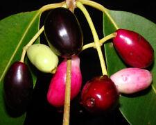 Indian Wax Apple (JAMUN) Tropical Fruit Tree