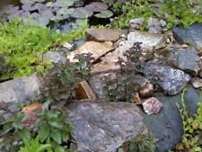 Menthe aquatica  5 tiges   plante bassin