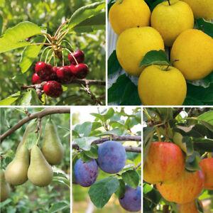T&M Mini Fruit Tree Patio Garden Plant Apples Pears Cherries Plums 9cm Potted
