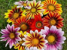 50 Gazania Seeds Striped Mix Flower Seeds