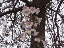200+ Samen Paulownia fortunei - Blauglockenbaum