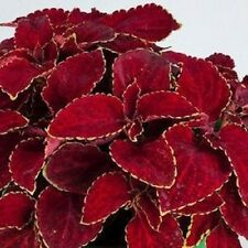 200 Coleus Seeds Rainbow Superfine Red Velvet Flower Seeds BULK SEEDS