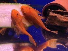 SUPER RED Bristlenose Pleco 1-3/4 inch+ (2 Pack)  Plecostomus - SURPLUS SALE!