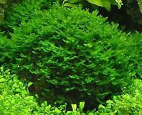 Pellia - Live Aquarium Plant Fish Tank Special Deal NEW for Aquatic Pets,Shrimps