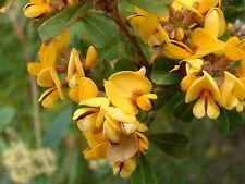 Pultenaea daphnoides - Native Daphne 15 seeds