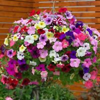 100Pcs Seeds Hanging Petunia Flowers Beautiful Kind Balcony Potted Bonsai Plants