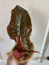 Rare Philodendron Dark Lord Us Seller Rooted Top Cut