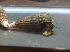 Yellow Spotted Rabbit Snail - Live Aquarium Snail
