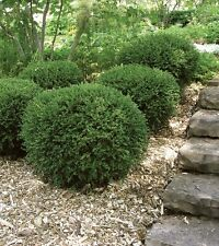 Boxwoods- Wintergreen Buxus microphylla Quart Pot Lot of 12