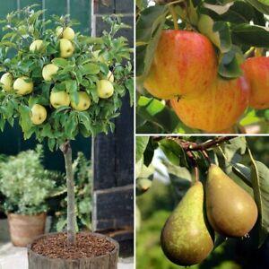 T&M Fruit Trees Garden Plants Apples Pears Dwarf Patio Collection 3 x 9cm Pots