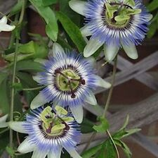 Passion Flower Blue Passiflora Perennial - 10 Seeds