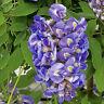 Wisteria Frutescens Vine Amethyst Falls American Wisteria Live Plant 3-Inch Pot