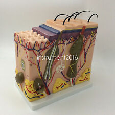 New Human Skin Block Model 70X enlagared Anatomical Anatomy Model Medical  Model