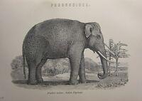 1880 Stampa ~ Indiano Elefante Proboscidea