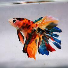 Live Betta Fish - Male - Koi Candy Rainbow Halfmoon (AMMAUG66) (High-Grade)