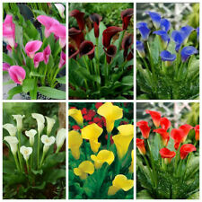 100Seed Mixed Colors Calla Lily Bonsai Plant Tree House Herb Garden Flower Decor