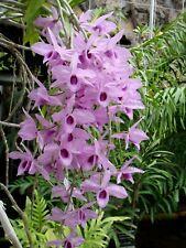 Rare Dendrobium anosmum orchid plant. Fragrant! Hawaii's favorite.2 plant deal!