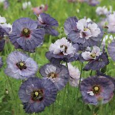 POPPY ICELAND DEER RESIST PRIMED FLOWER SEEDS PAPAVER CHAMPAGNE BUBBLES 35