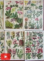 Botanicals Alpine flowers Europe 1904 Zurich Frankfurt lot x 12 chromo prints