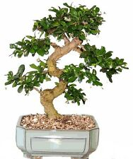 Bonsai Tree Large Fukien Tea Great Gift ! Live Tree