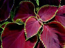 Coleus Red Velvet Seed Compact Shade Loving Annual Indoors Compact Plant