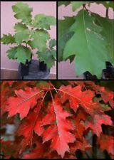 Quercus rubra, Quercia rossa, Pianta, Albero, Vaso Nero per giardini e prebonsai