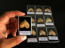 1x Dent de requin Squalicorax Fossile / Fossil shark tooth!! TOP QUALITY!!