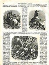 Llanos Combat de Chevaux Sauvage Cheval Loup Manada Jaguar Mexique GRAVURE 1848