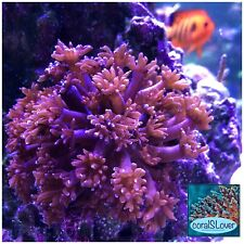"""live coral Ultra Red Goniopora 1"""" frag with 12-15 heads """"coralSlover"""""""