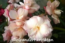 Oleander Pflanze PROVENCE syn. SOUVENIR DE MICHEL 70-80cm 3l Topf Cadmiumorange