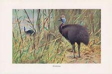 Helmkasuar (Casuarius casuarius) corre pájaro impresión en color 1911