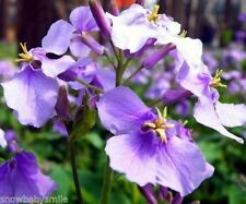800 Hardy Orychophragmus Violaceus Seeds February Orchid Violet Purple Flower