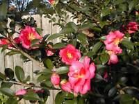 "Bob Wines Camellia Gardens 18-30/"" Camellia Sasanqua ShiShi Gashira NO Shipping!"