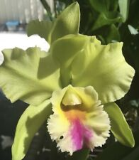 Blc. Dewey Forest Kudos; Bs in 4 inch pot with new growth