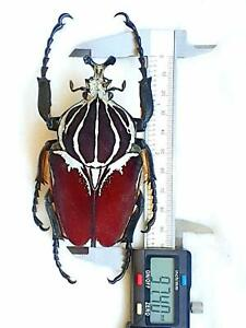 MONSTER GOLIATHUS CONSPERSUS MALE HUGE!!! 97,40MM AMAZING!!! CETONIDAE CAMEROON