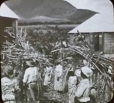 Sugar Cane Ready for Grinding, Island of Kitts, BWI, Magic Lantern Glass Slide