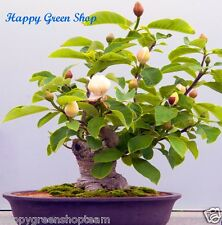 MAGNOLIA VINE - 21 seeds - Schisandra chinensis -Bonsai Fruity Chinese Magnolia