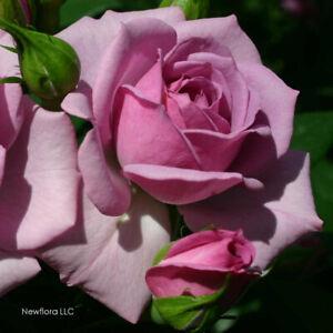 """Lavender Veranda Repeat Blooming Rose Bush Starter Plant  3.5"""" X 5"""" Pot Own Root"""